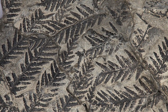 Carboniferous Fossil fern, Alethopteris 004010 | Flickr ...
