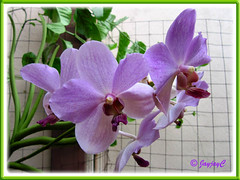 Our Purple Vanda Orchids in a hanging pot at our frontyard, Feb 15 2010