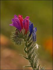 Echium-plantagineum... ¡y llegó la primavera!