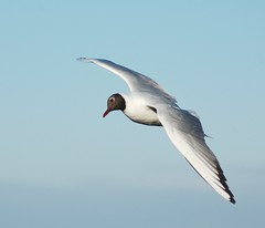 black headed sea gull