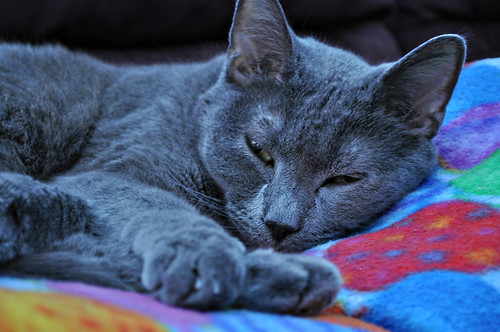 Dusty the Russian Blue