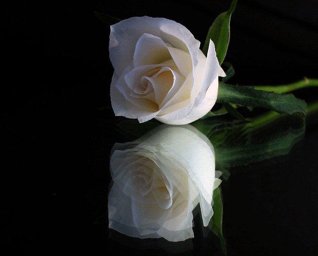 Single White Rose and Reflection 2 | Flickr - Photo Sharing!