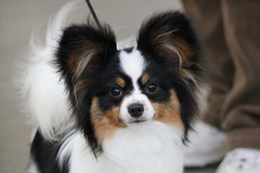 dog breed, animal, dog, pet, king charles spaniel, japanese chin, phalã¨ne, papillon, carnivoran,