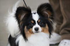 kooikerhondje(0.0), dog breed(1.0), animal(1.0), dog(1.0), pet(1.0), king charles spaniel(1.0), japanese chin(1.0), phalã¨ne(1.0), papillon(1.0), carnivoran(1.0),