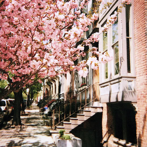 Pink Cherry Blossom Tree in NYC, Apartment 34