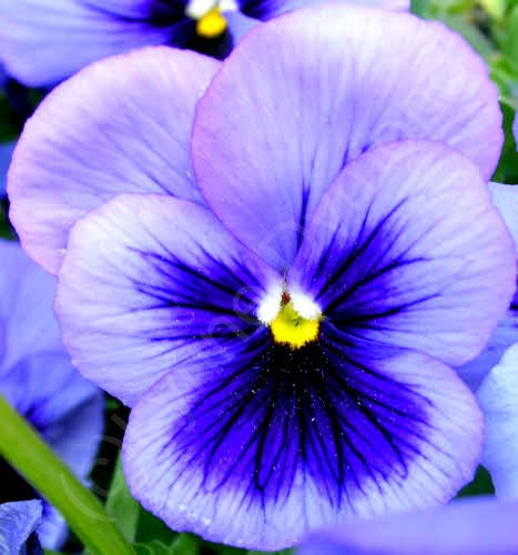 Blue Pansy Flower A Macro Shot Of The Flower Of A Pansy V Flickr