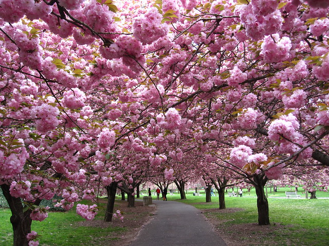 The Prunus 'Kanzan' trees along Cherry Walk. Photo by Rebecca Bullene.