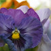 Small photo of Purple Pansy