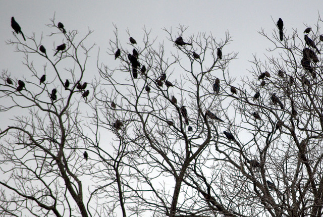 Header of A Murder of Crows