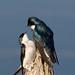 Hirondelles Bicolores, Tree Swallow
