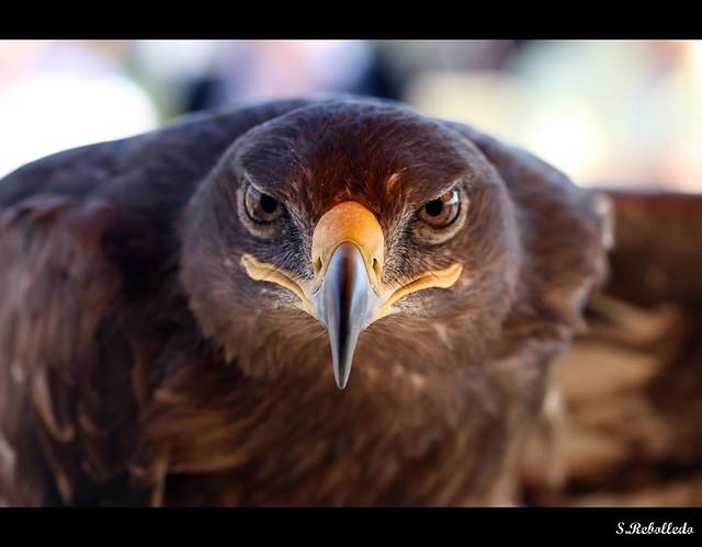 Header of Aguila