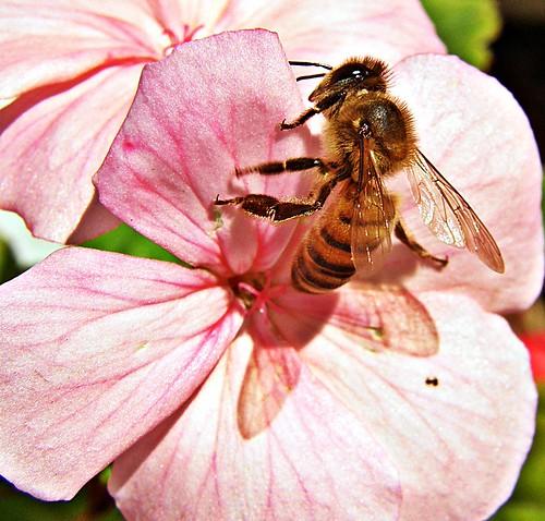 abeja en malvon