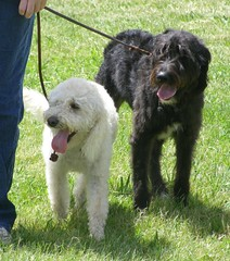 standard poodle(0.0), pumi(0.0), lagotto romagnolo(0.0), catalan sheepdog(0.0), portuguese water dog(0.0), miniature poodle(1.0), dog breed(1.0), animal(1.0), dog(1.0), schnoodle(1.0), pet(1.0), glen of imaal terrier(1.0), mammal(1.0), poodle crossbreed(1.0), irish wolfhound(1.0), old english sheepdog(1.0), bouvier des flandres(1.0), cã£o da serra de aires(1.0), goldendoodle(1.0),