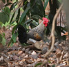 Grey Junglefowl, Gallus sonneratii by Graham Ekins