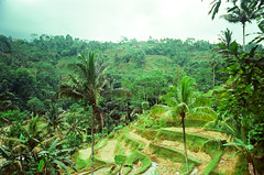 arecales, rainforest, valley, hill station, forest, natural environment, terrace, biome, vegetation, plantation,