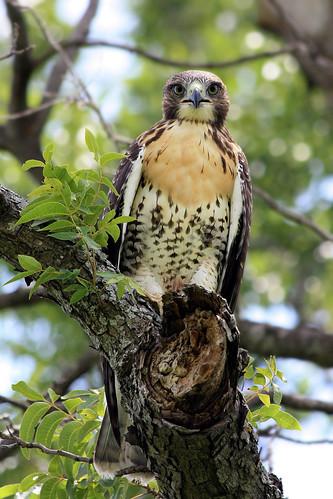 bravo texas raptors birdsofprey hawks redtailedhawk buteojamaicensis grapevinelake beautifulworldchallenges thechallengefactory
