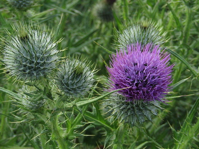 Thistles, Canon POWERSHOT SX420 IS