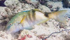Manybar Goatfish foraging - Parupeneus multifasciatus