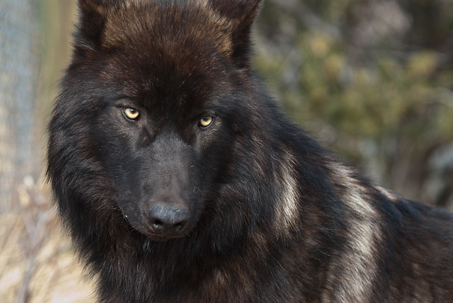 black wolf with green eyes - photo #23