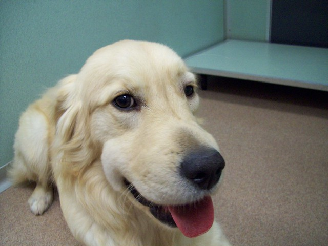 canine facial swelling