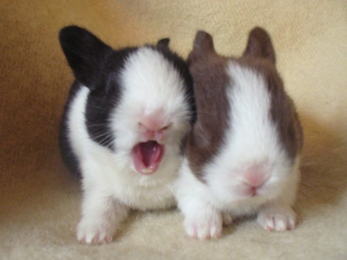 Yawning Rabbit