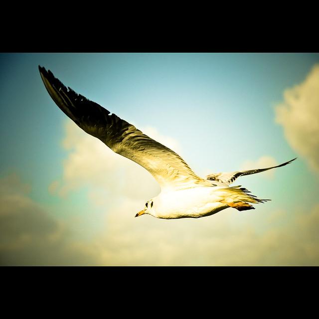 Gull III