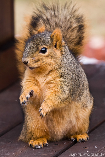 urban cute animal rodent furry backyard squirrel wildlife scavenger foxsquirrel mandj98 jmpphotography jamesmarvinphelps ilobsterit