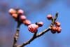 Photo:Ume / Prunus mume / 梅(ウメ) By TANAKA Juuyoh (田中十洋)