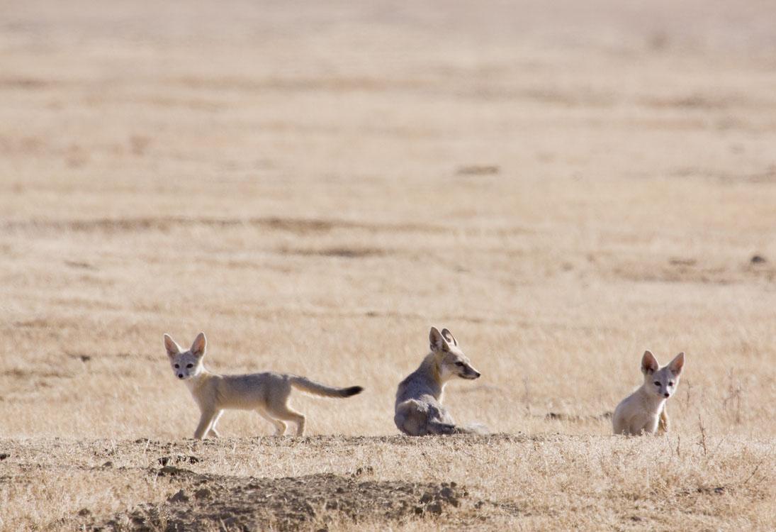 Grey Fox Eat Small Dogs