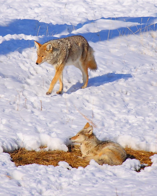 IMG_8502 Coyote, National Elk Refuge