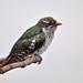 Diederik Cuckoo  (Chrysococcyx caprius) Juv by Ian N. White
