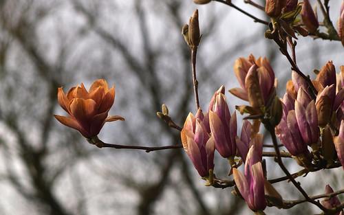Flores de Magnolio soulangeana .. parece