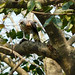 Small photo of Crested Goshawk. (Accipiter trivirgatus)