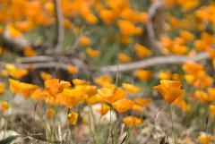 eschscholzia californica, flower, field, yellow, nature, wildflower, flora, meadow, poppy,