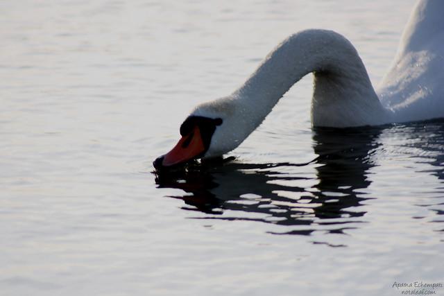 Swan's dinner time