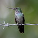 Small photo of Blue-chested Hummingbird (Amazilia amabilis)