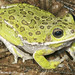 Barking Treefrog - Photo (c) Todd Pierson, some rights reserved (CC BY-NC-SA)
