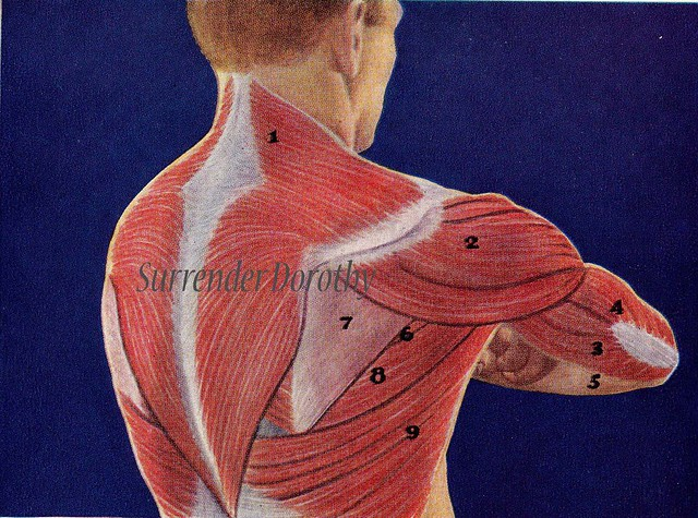Human anatomy muscles back