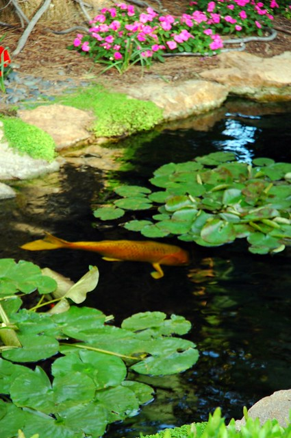 The Golden Koi Pond Lily Pads In The Self Realization Fellowship Meditation Garden Encinitas