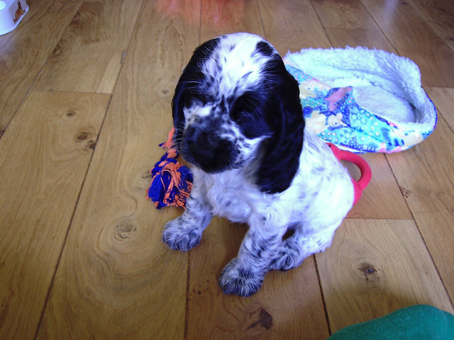 Spanner as a tiny puppy, on the day we brought him home! | Emma Lamb