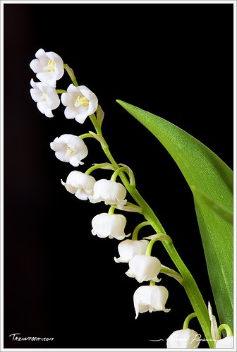 Muguet - Convallaria majalis - Lily of the valley