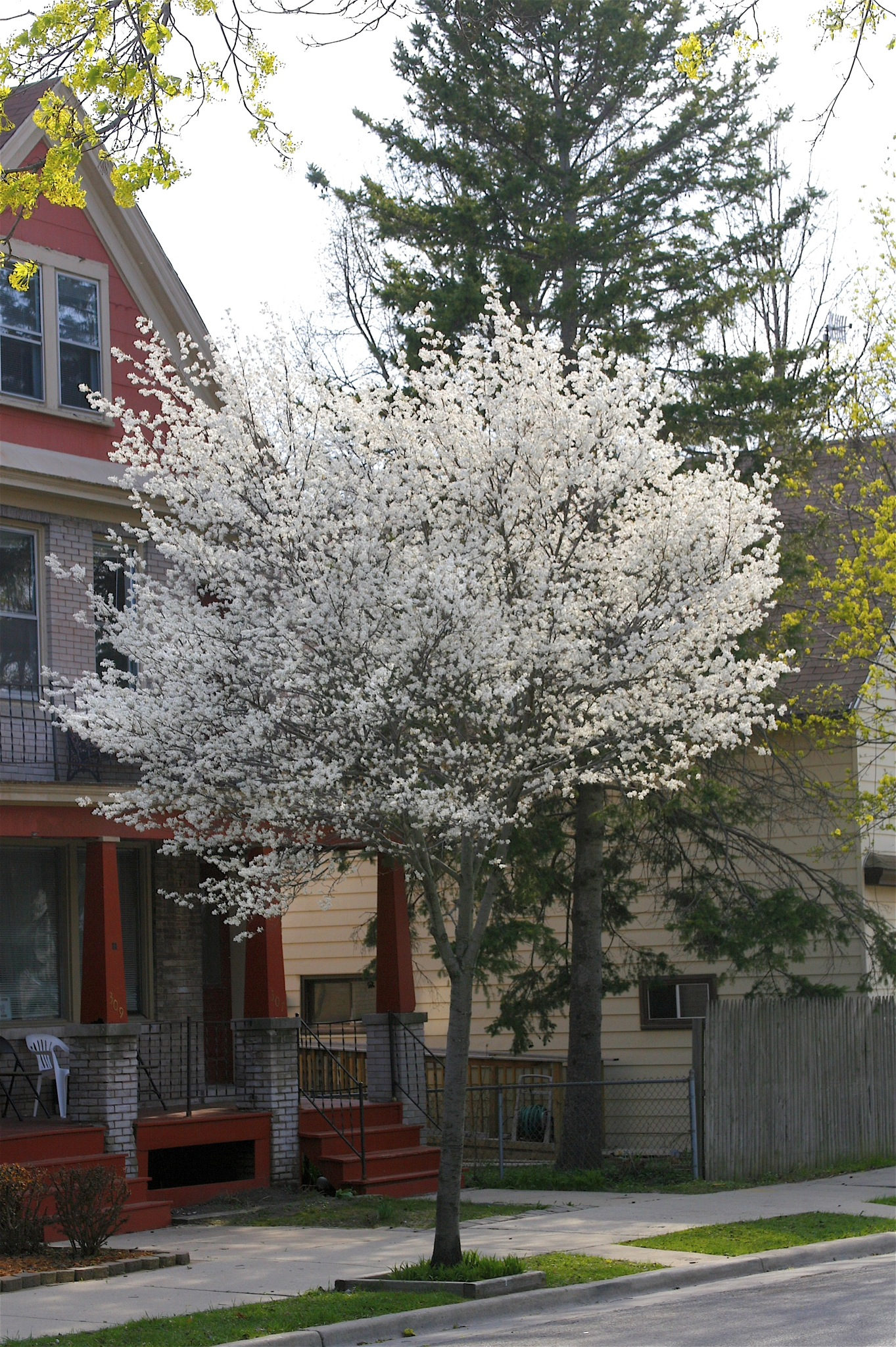 Allegheny serviceberry flickr photo sharing for Serviceberry tree