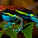 Male poison arrow frog (Dendrobates macero)