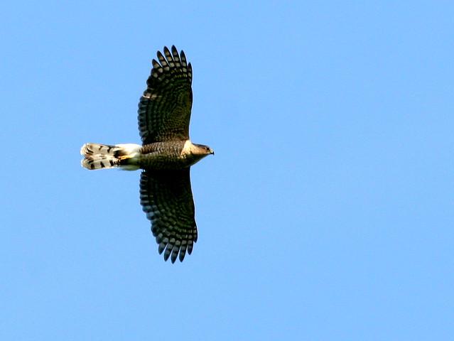 Coopers Hawk 20100510