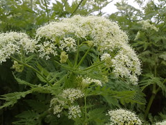 apiales, flower, cow parsley, cicely, anthriscus,