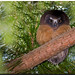 Northern Saw-Whet Owl (Juvenile)