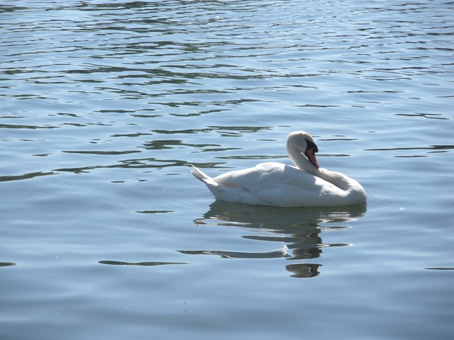 i can never resist a swan photo