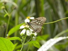 青斑蝶移動之謎仍待更多證據解答。