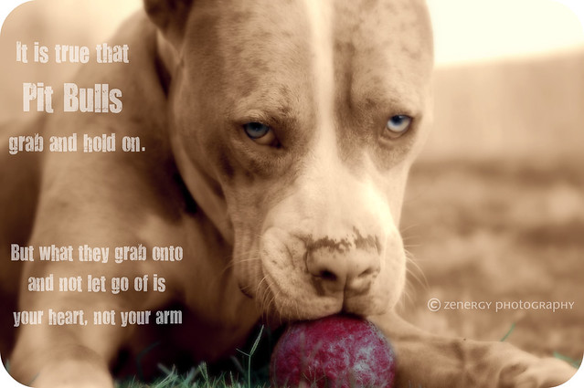 Pitbull Quotes: The eyes of the \