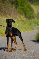 dog breed, animal, dog, german pinscher, manchester terrier, dobermann, pet, guard dog, pinscher, toy manchester terrier, austrian black and tan hound, polish hunting dog, carnivoran,